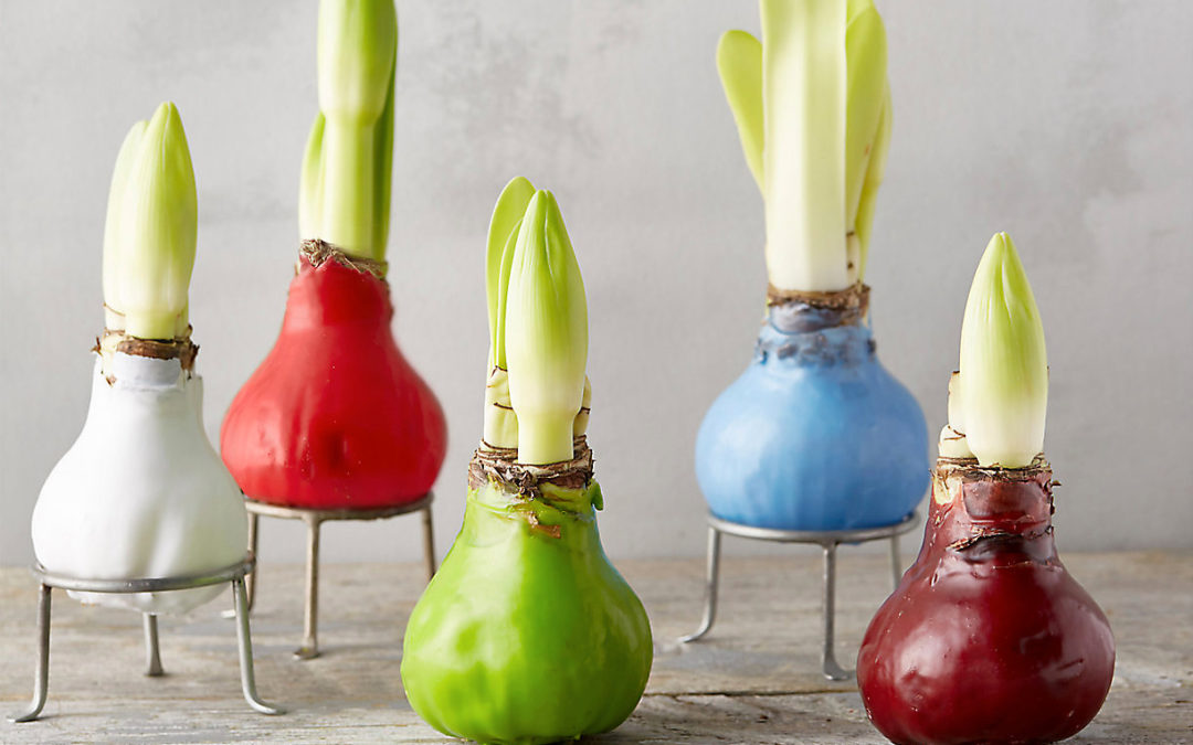 3 Festive Waxed Amaryllis Bulbs to Give & Grow